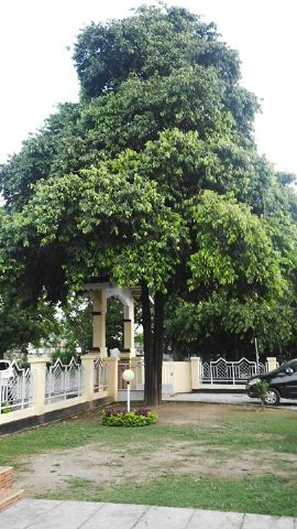 Pohon Kayu Eboni, di Halaman Kantor Pemda Sulawesi Tengah.